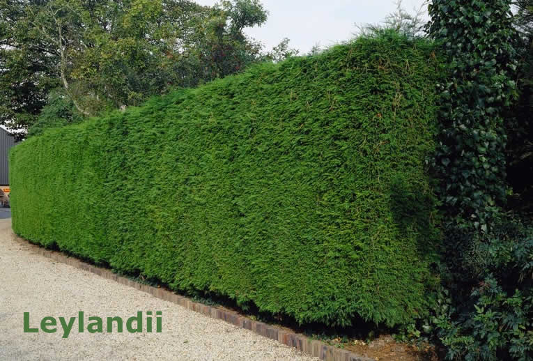 Leylandii Hedge Trimming, Cutting and Removal